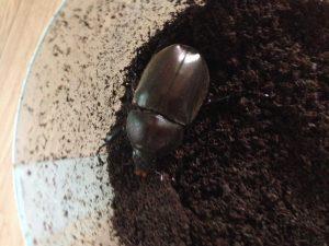 韓国 カブトムシ