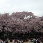 日本の桜を心に焼き付けて