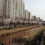 韓国の桜と花見文化は日本とこんなに違う!見頃の時期は?