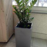 金運アップの観葉植物クムジョンスが韓国の到るところに!